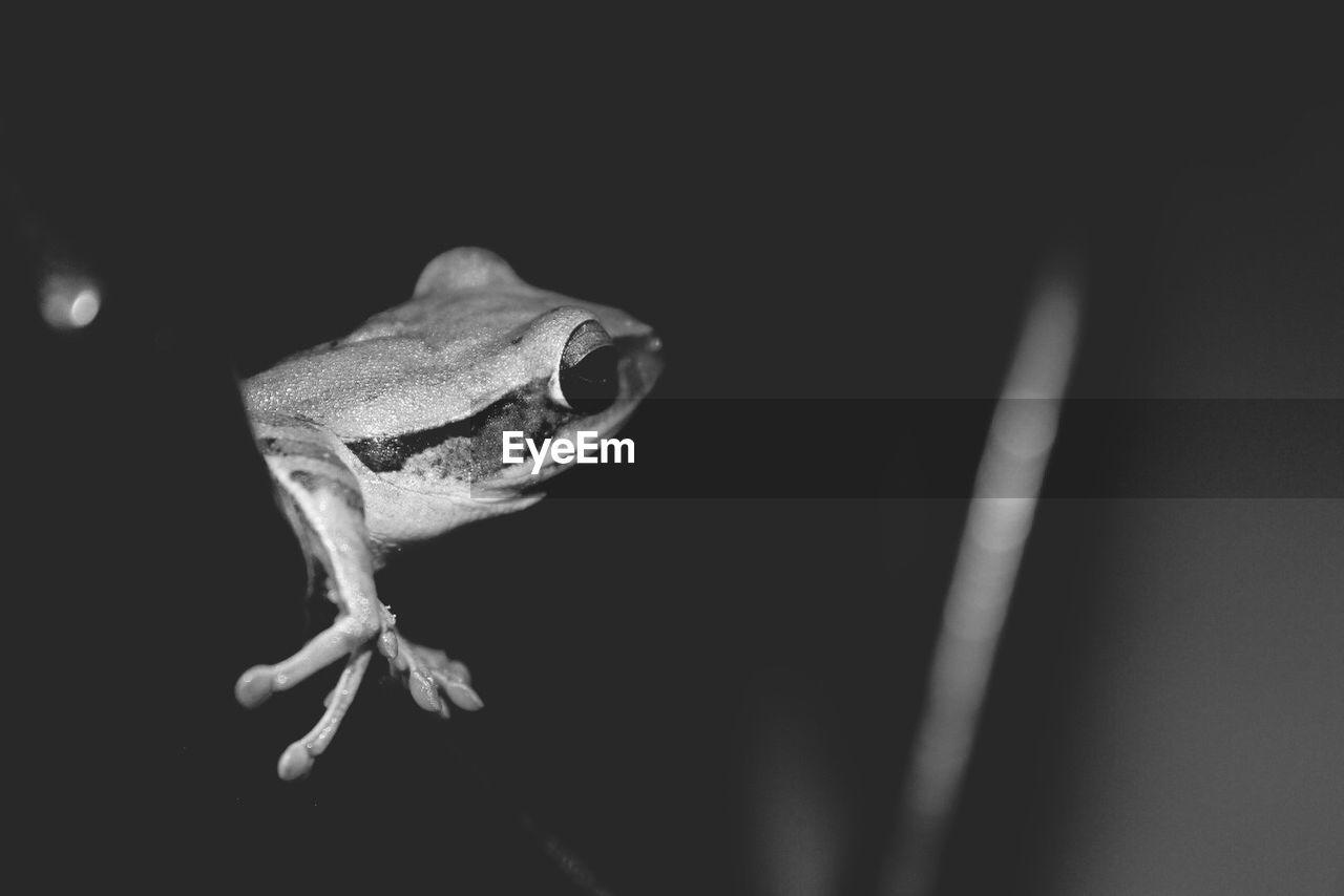 Close-Up Of Frog Against Dark Background