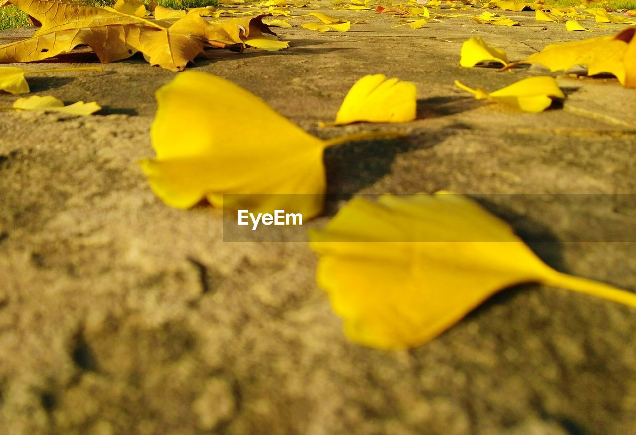 yellow, change, leaf, autumn, dry, selective focus, no people, outdoors, day, nature, close-up, fragility, beauty in nature, maple