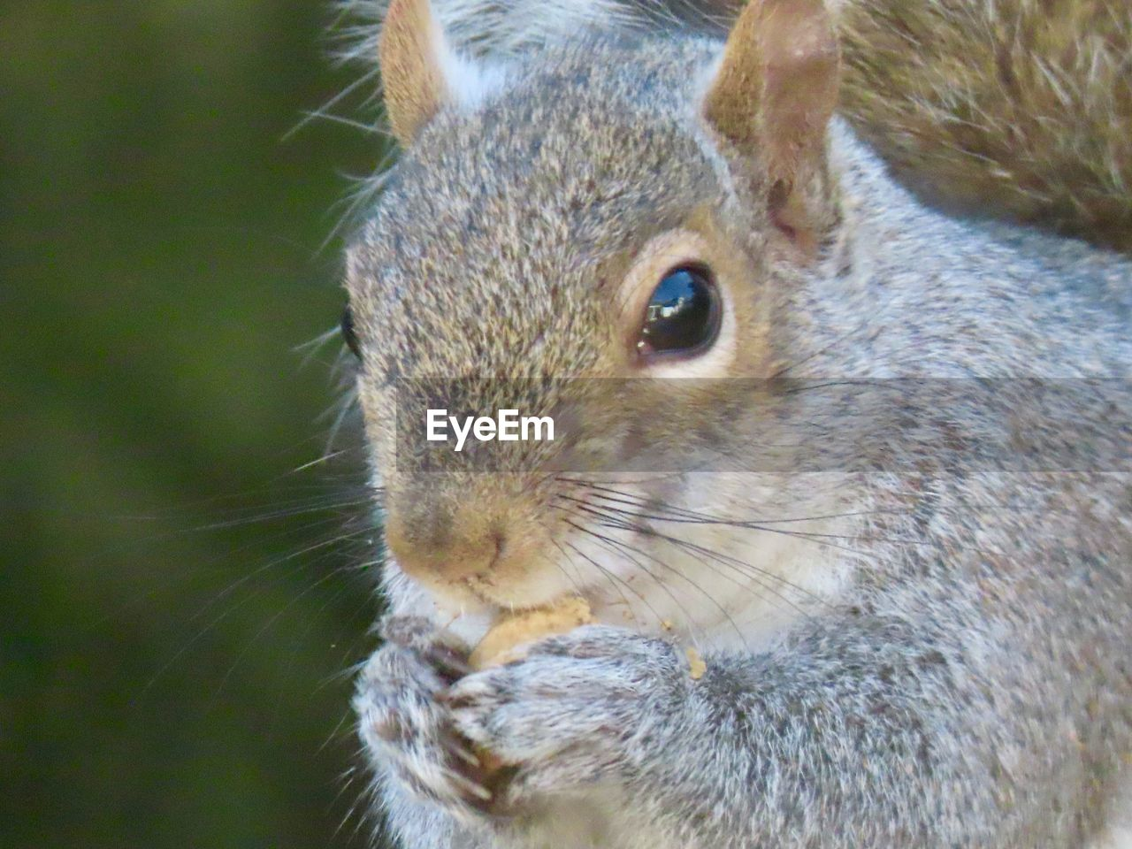 one animal, animal themes, animal, animal wildlife, rodent, mammal, close-up, animals in the wild, squirrel, vertebrate, no people, focus on foreground, day, whisker, animal body part, outdoors, animal head, nature, nut, pets, animal eye, herbivorous