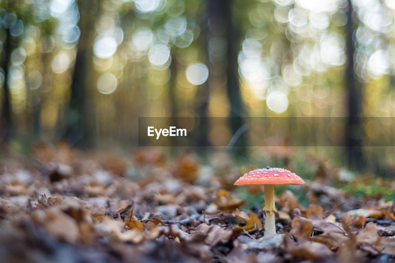 land, mushroom, fungus, plant, vegetable, growth, forest, selective focus, nature, beauty in nature, tree, close-up, day, leaf, no people, food, plant part, field, fly agaric mushroom, toadstool, outdoors, surface level