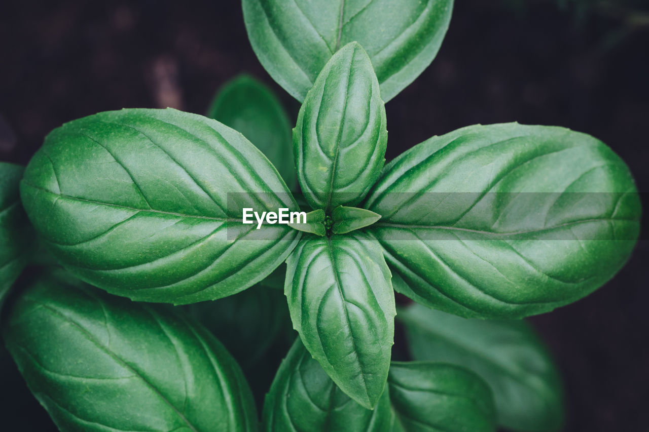 green color, plant part, leaf, close-up, growth, plant, beauty in nature, no people, focus on foreground, nature, freshness, outdoors, food, food and drink, day, vulnerability, fragility, flower, high angle view, natural pattern, leaves