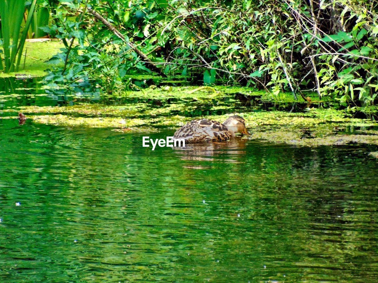 animals in the wild, animal themes, wildlife, nature, one animal, water, green color, waterfront, no people, animal wildlife, day, reflection, outdoors, plant, mammal, tree, swimming, grass