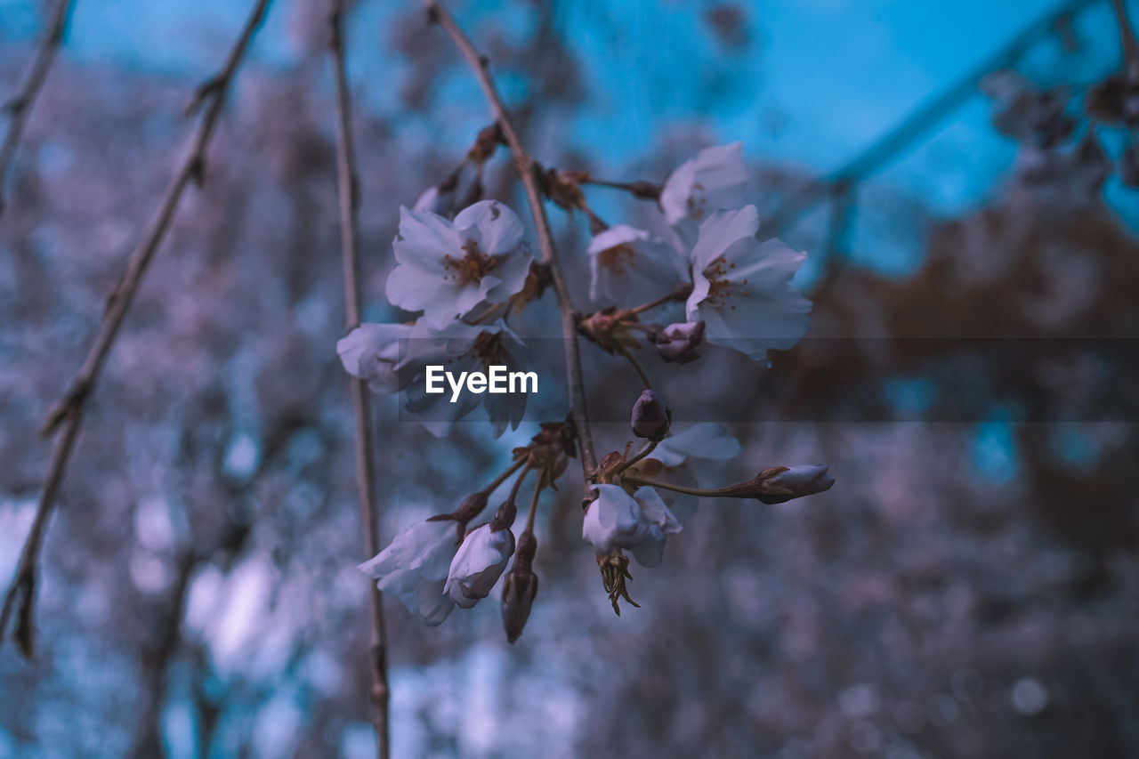 flower, flowering plant, plant, vulnerability, fragility, beauty in nature, close-up, growth, focus on foreground, petal, no people, freshness, nature, selective focus, springtime, day, tree, blossom, outdoors, twig, flower head, pollen, cherry blossom, cherry tree