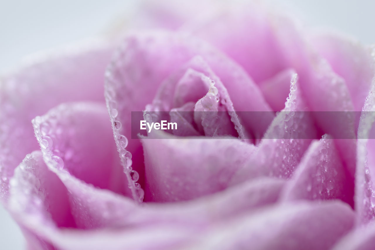flower, flowering plant, close-up, beauty in nature, pink color, plant, freshness, petal, inflorescence, rose - flower, rose, selective focus, nature, vulnerability, flower head, fragility, drop, no people, water, purple, softness, dew