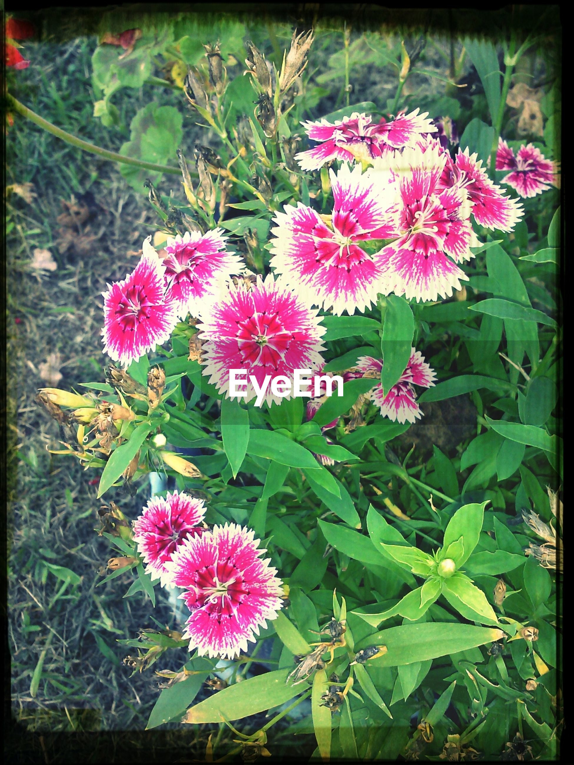 flower, freshness, fragility, pink color, growth, petal, transfer print, beauty in nature, plant, flower head, nature, blooming, auto post production filter, leaf, close-up, pink, high angle view, in bloom, outdoors, no people