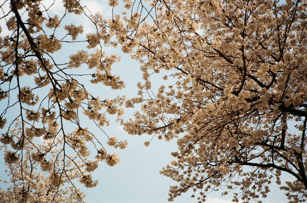 tree, plant, low angle view, sky, beauty in nature, branch, no people, flower, day, flowering plant, growth, nature, tranquility, blossom, fragility, outdoors, springtime, clear sky, vulnerability, backgrounds, cherry blossom, cherry tree, directly below, tree canopy