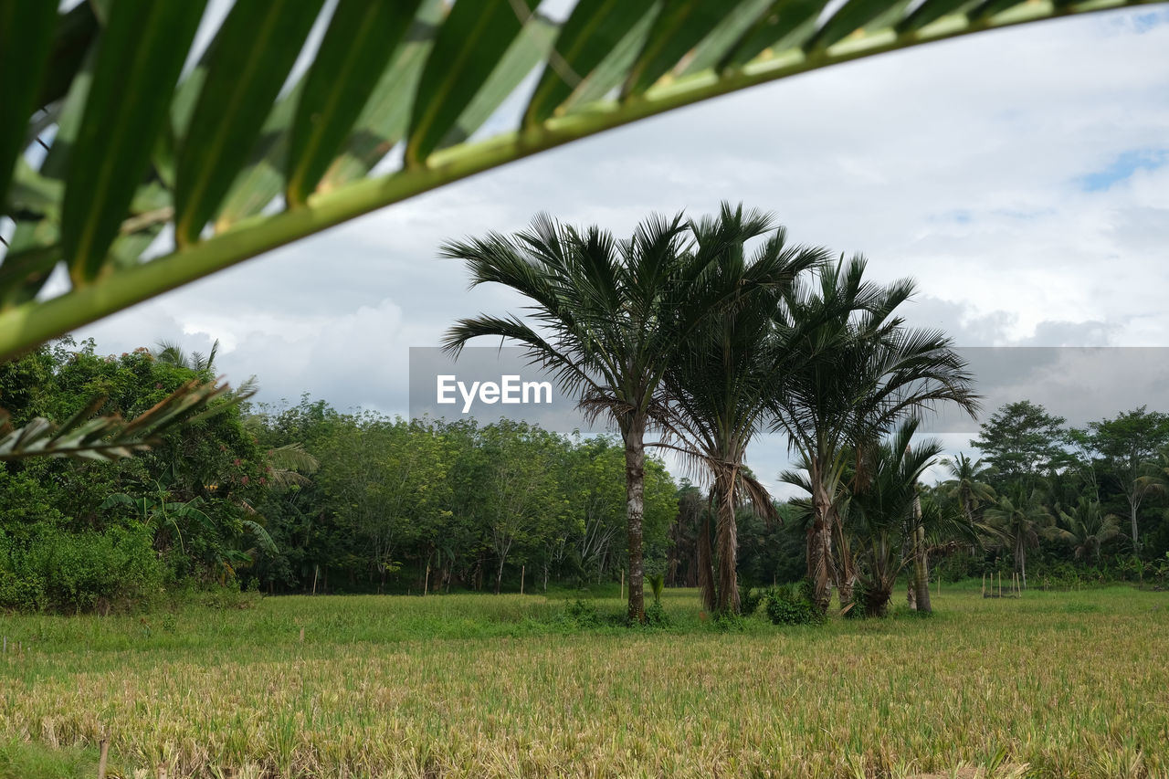 plant, tree, palm tree, growth, tropical climate, sky, cloud - sky, nature, land, beauty in nature, green color, field, grass, day, tranquility, tranquil scene, environment, no people, landscape, scenics - nature, outdoors, coconut palm tree, palm leaf