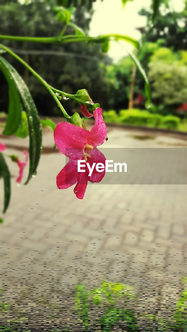 flower, petal, growth, fragility, nature, pink color, beauty in nature, freshness, plant, close-up, focus on foreground, outdoors, flower head, no people, day, drop, water, wet, red, leaf