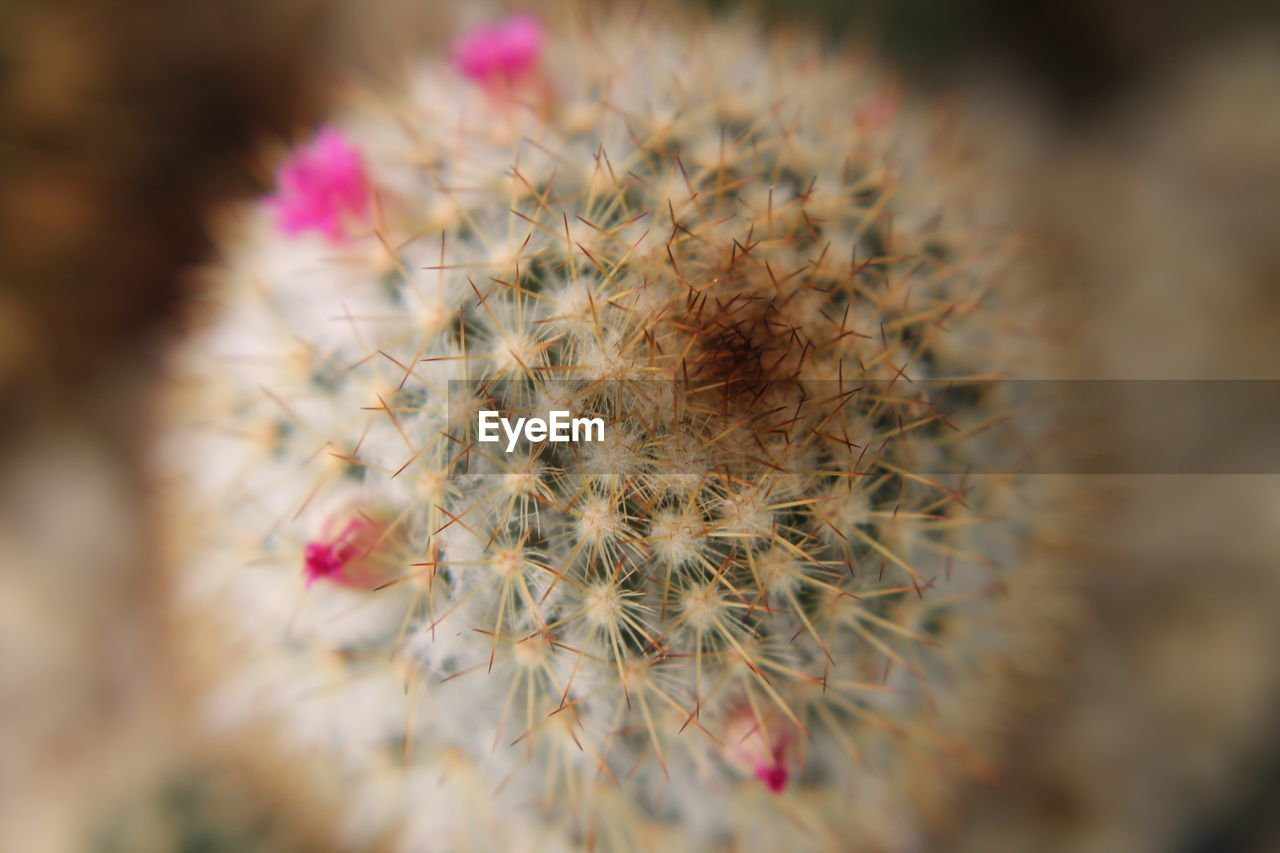 flower, growth, nature, cactus, fragility, plant, close-up, selective focus, pink color, beauty in nature, outdoors, freshness, day, no people, flower head