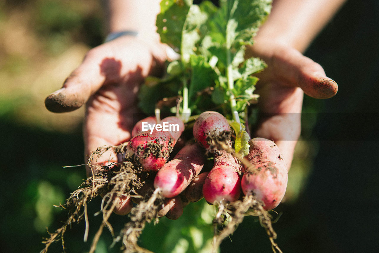 Close-Up Of Hand Holding Radishes