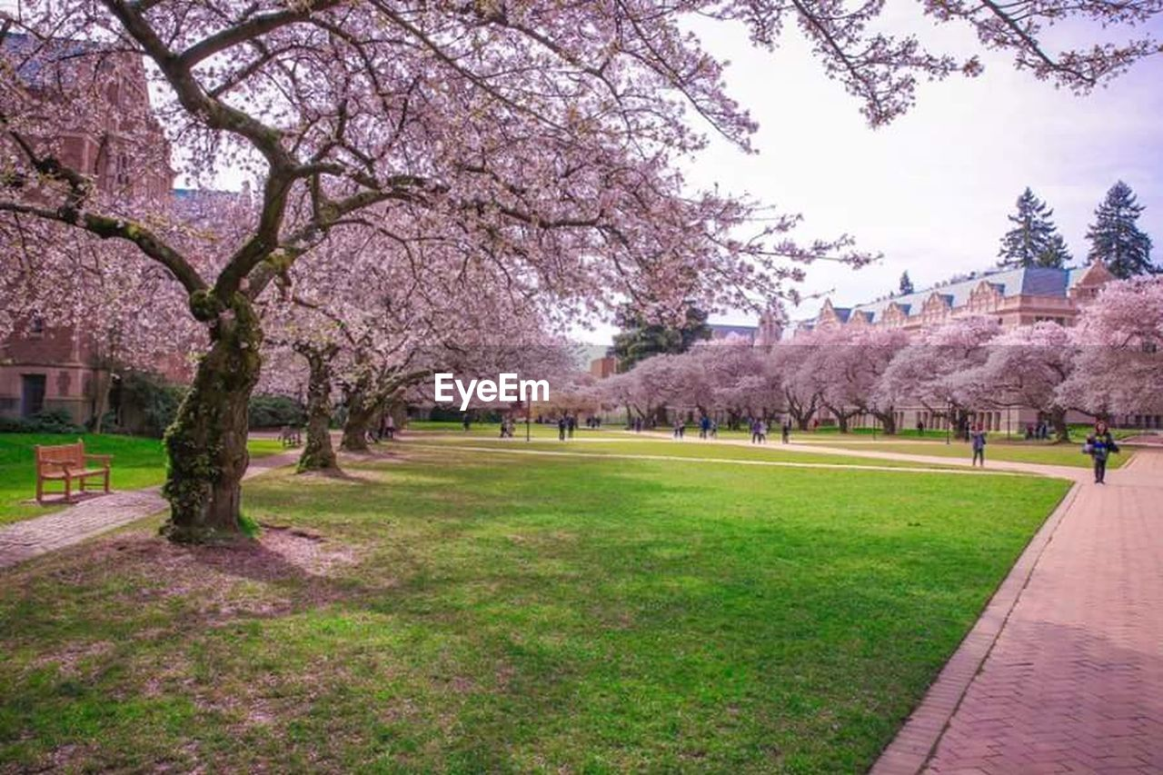 tree, cherry blossom, blossom, flower, cherry tree, beauty in nature, nature, springtime, growth, branch, outdoors, grass, sky, pink color, park - man made space, fragility, no people, day, scenics, freshness, green color