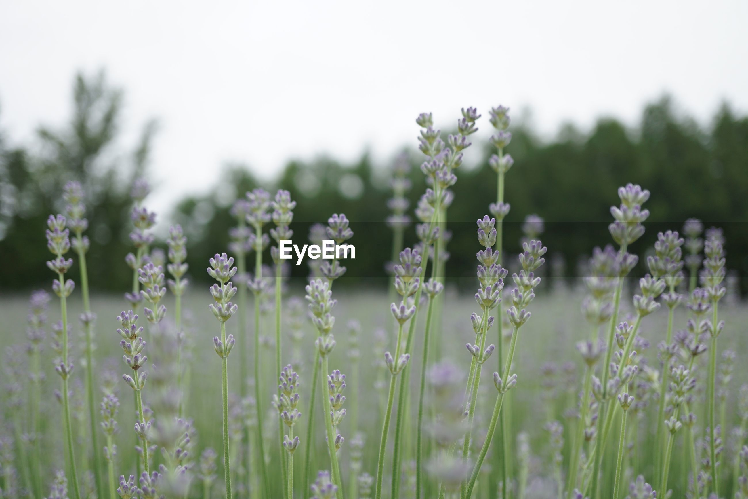 growth, plant, beauty in nature, field, land, flower, flowering plant, selective focus, fragility, vulnerability, tranquility, nature, freshness, day, no people, close-up, focus on foreground, green color, outdoors, tranquil scene