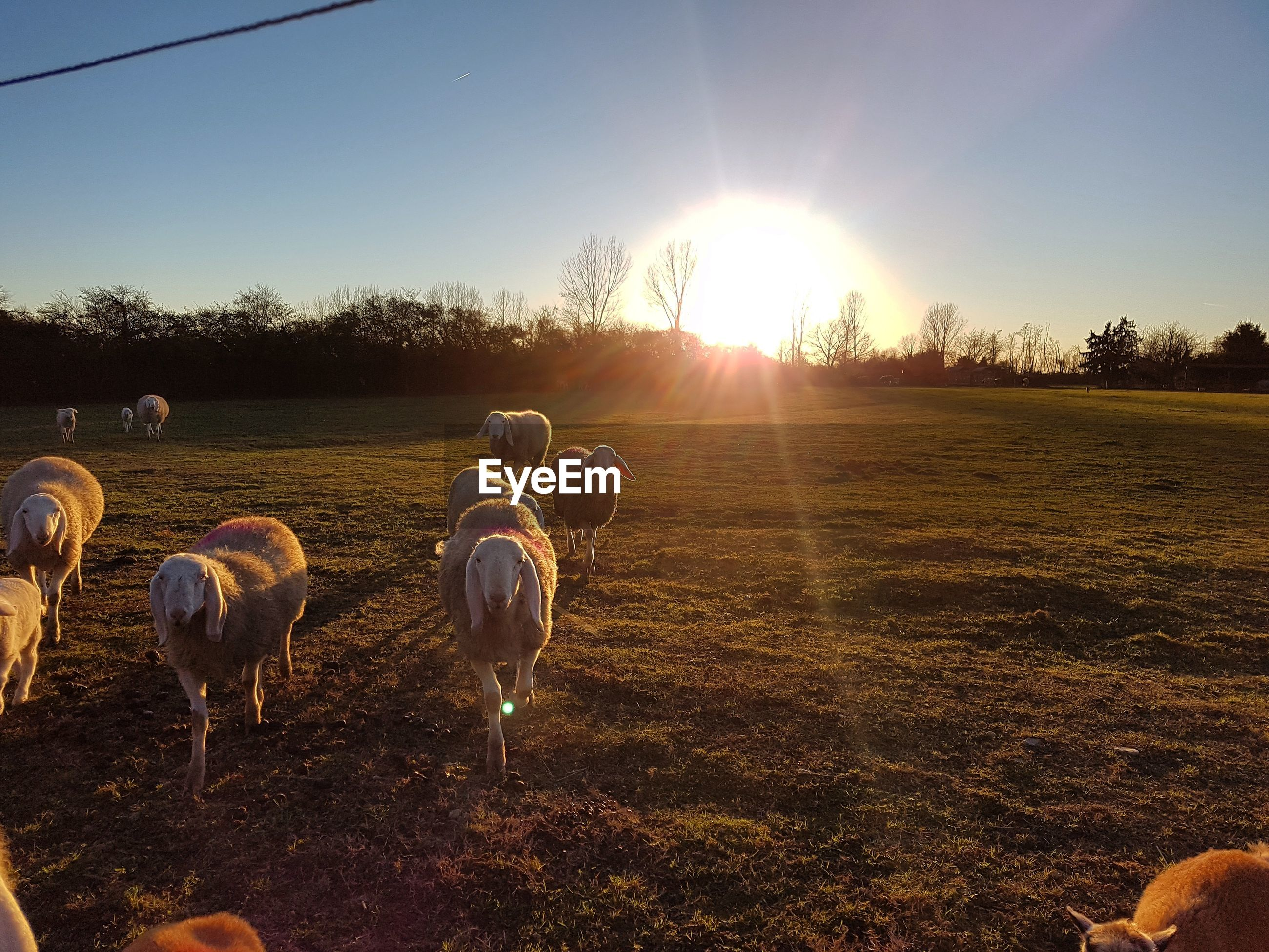 Flock of sheep on field against sky during sunset