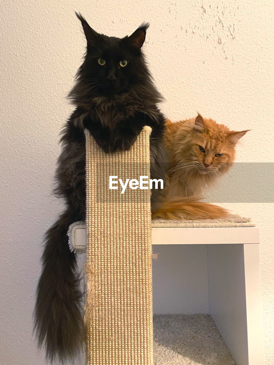 cat, feline, mammal, domestic cat, domestic, pets, domestic animals, animal, animal themes, vertebrate, one animal, no people, wall - building feature, indoors, sitting, looking at camera, portrait, whisker, looking, maine coon cat