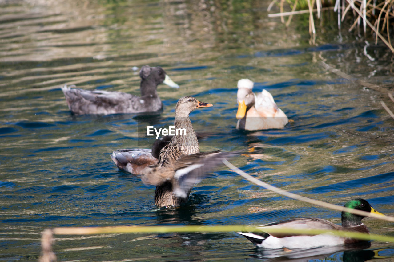 animals in the wild, bird, animal themes, lake, water, animal wildlife, nature, no people, day, outdoors, young bird, water bird, swimming, togetherness, young animal, spread wings, swan