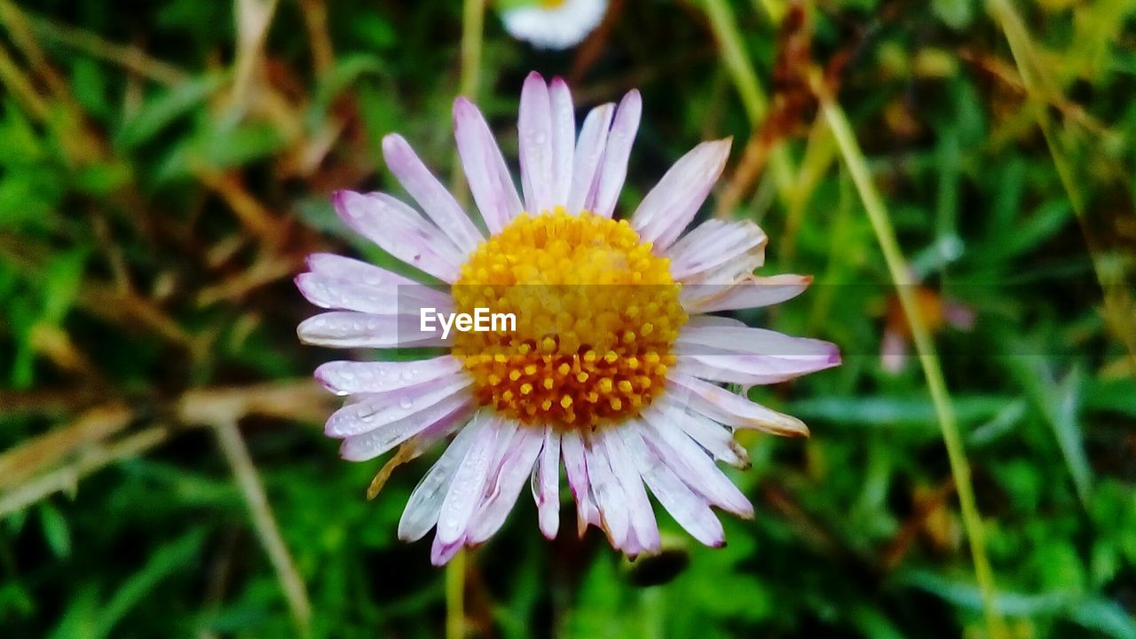 flower, nature, petal, growth, beauty in nature, flower head, fragility, plant, freshness, blooming, no people, outdoors, close-up, day