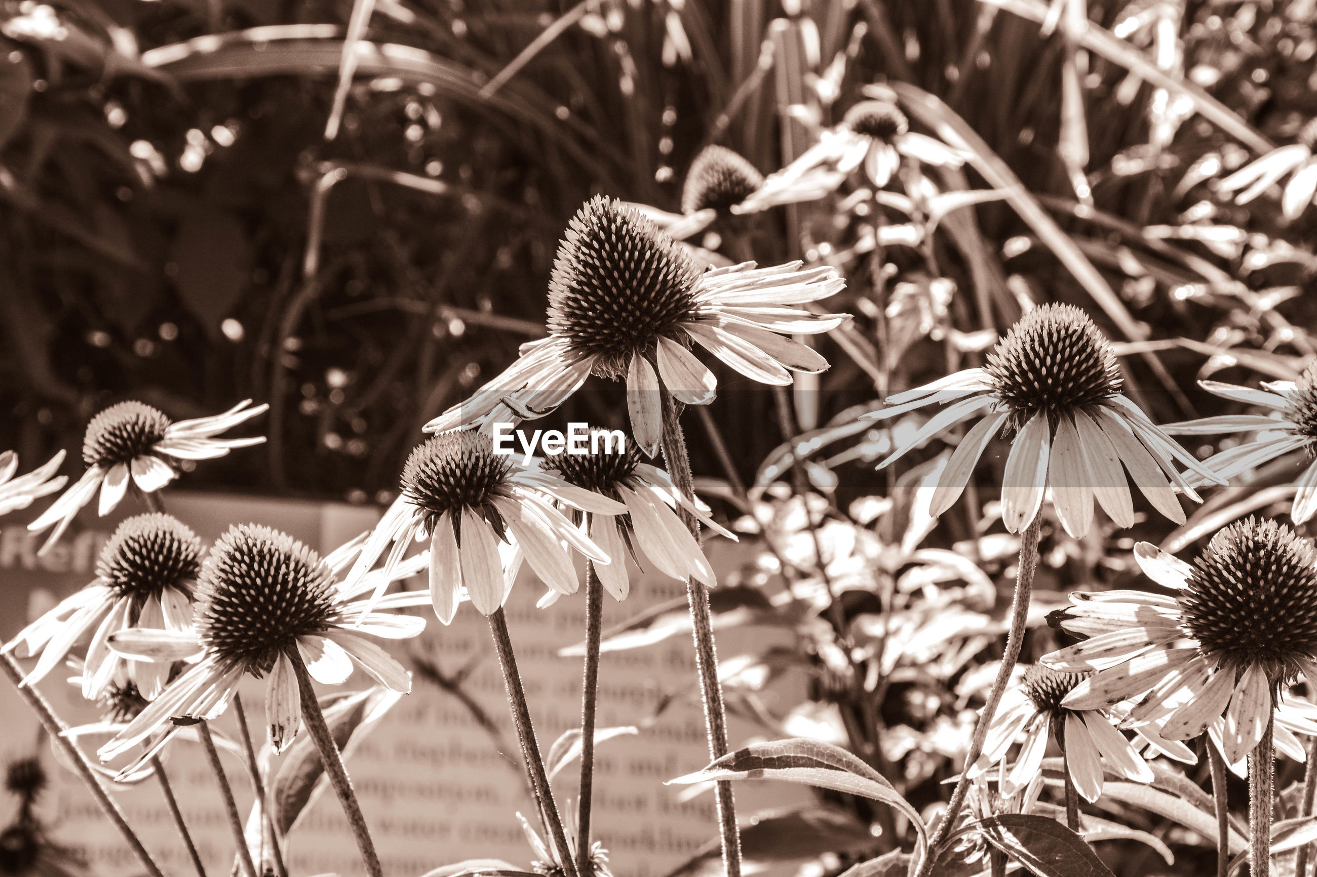 HIGH ANGLE VIEW OF PURPLE CONEFLOWER BLOOMING OUTDOORS