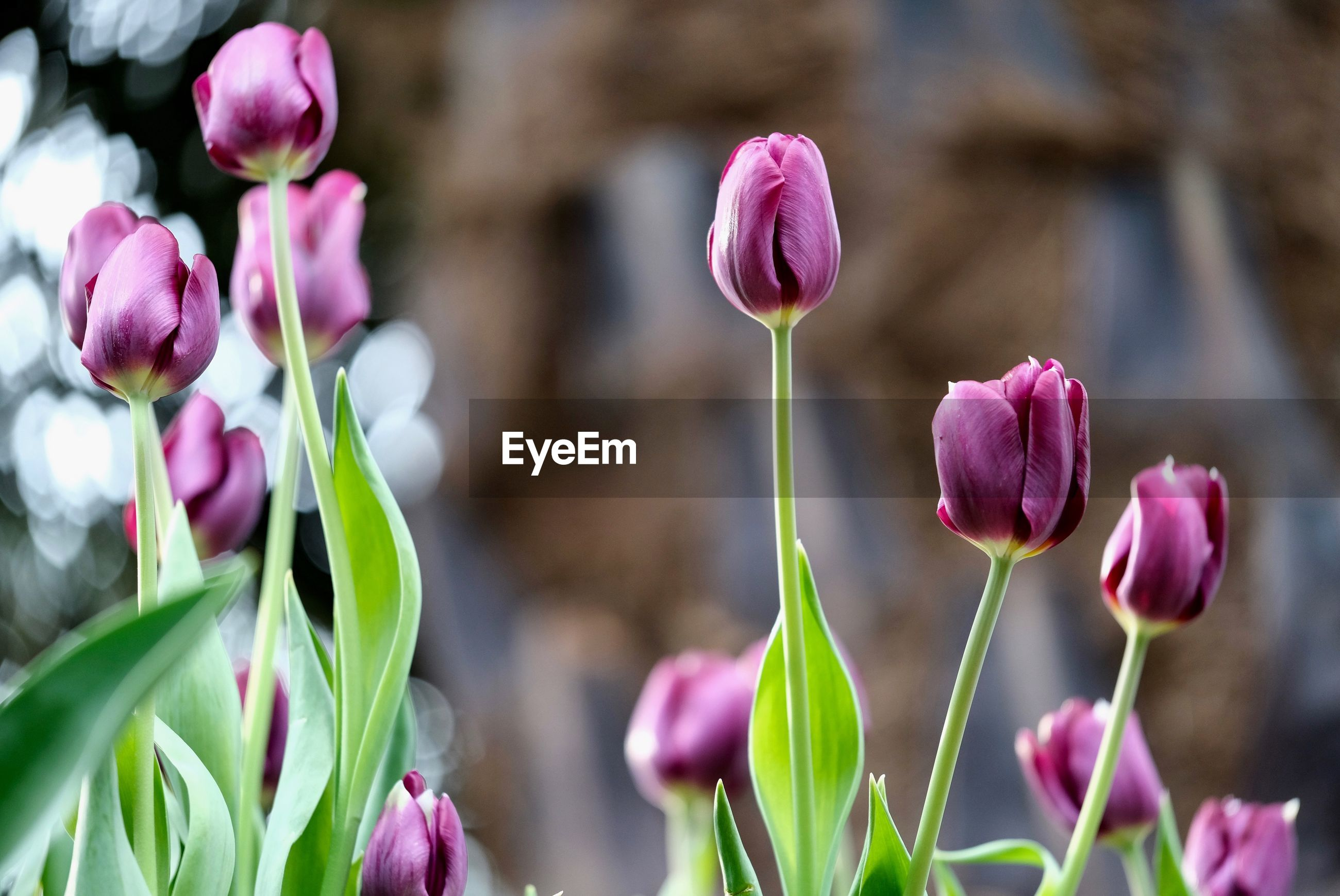 CLOSE-UP OF PINK TULIPS ON PLANT