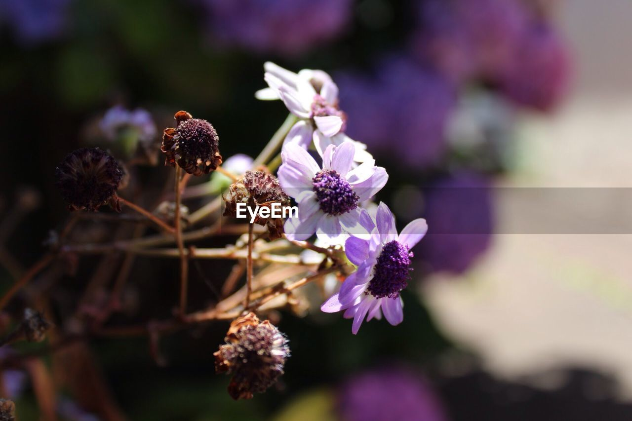 flower, flowering plant, freshness, fragility, vulnerability, plant, growth, beauty in nature, close-up, petal, purple, flower head, nature, focus on foreground, day, selective focus, inflorescence, no people, botany, outdoors, pollination, bunch of flowers