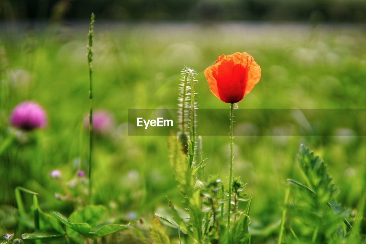 plant, flower, flowering plant, growth, beauty in nature, vulnerability, fragility, freshness, field, green color, land, petal, close-up, poppy, flower head, inflorescence, nature, day, selective focus, focus on foreground, no people, outdoors