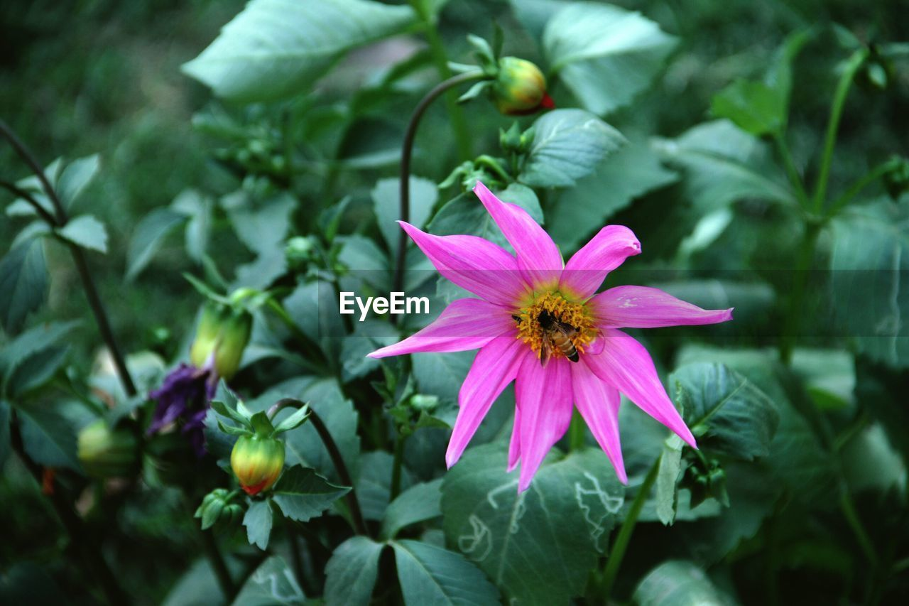 flower, fragility, petal, flower head, nature, pink color, beauty in nature, freshness, growth, day, no people, blooming, outdoors, plant, leaf, close-up, periwinkle