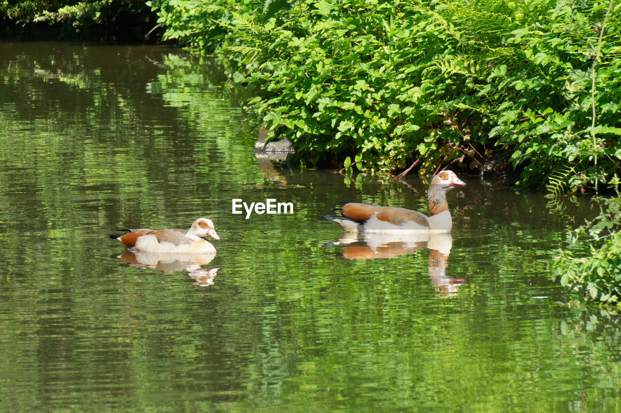 group of animals, lake, animal, water, animal themes, plant, bird, swimming, nature, vertebrate, young animal, reflection, no people, animals in the wild, tree, day, animal wildlife, animal family, young bird, duck, outdoors