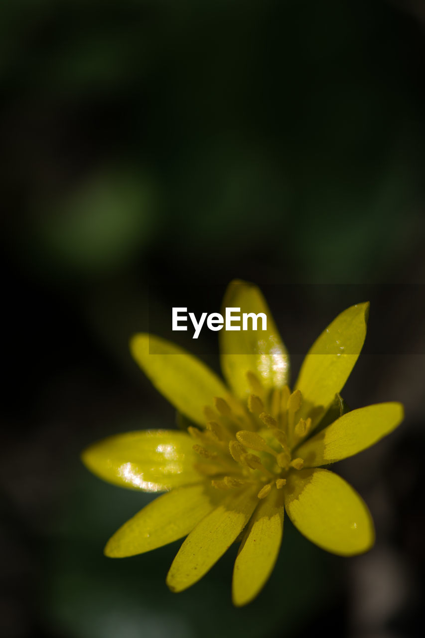 vulnerability, flower, fragility, plant, close-up, flowering plant, beauty in nature, yellow, freshness, no people, growth, selective focus, inflorescence, flower head, nature, petal, green color, day, outdoors, focus on foreground, pollen