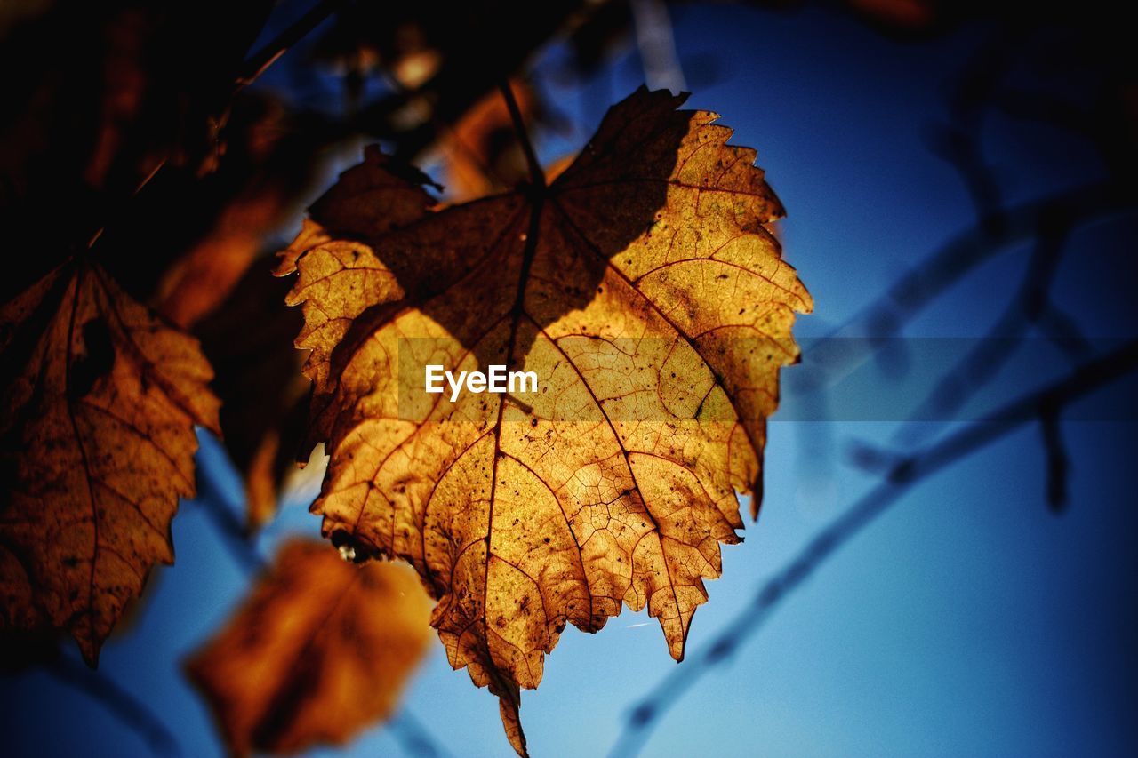 plant part, leaf, autumn, change, close-up, plant, leaf vein, nature, focus on foreground, beauty in nature, tree, no people, leaves, day, dry, natural pattern, outdoors, low angle view, vulnerability, sky, maple leaf, natural condition, autumn collection, fall, dried, wilted plant