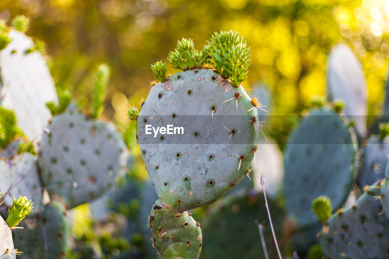 plant, growth, close-up, succulent plant, flower, cactus, prickly pear cactus, focus on foreground, nature, beauty in nature, flowering plant, day, no people, thorn, green color, selective focus, spiked, sunlight, outdoors, vulnerability, flower head