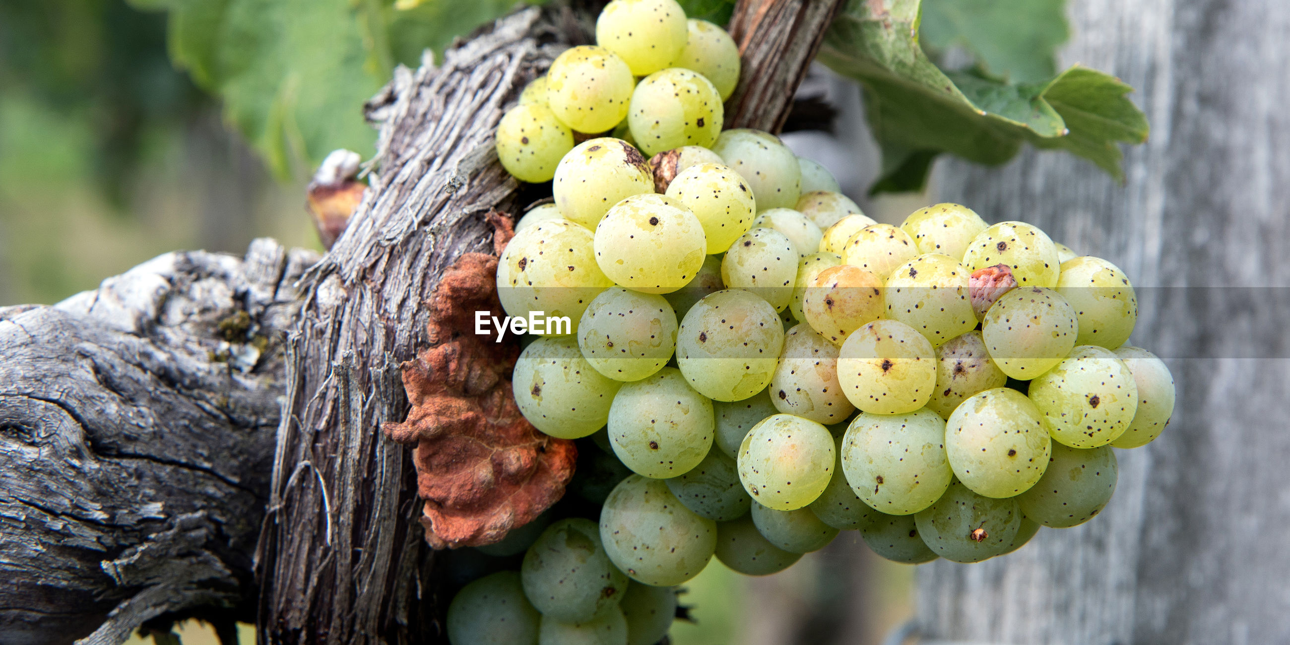 CLOSE-UP OF GRAPES IN TREE