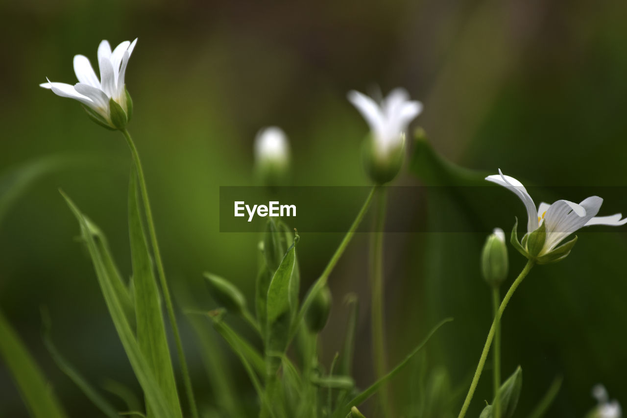 growth, flower, nature, beauty in nature, petal, fragility, freshness, plant, green color, flower head, white color, leaf, snowdrop, no people, outdoors, blooming, day, close-up, grass