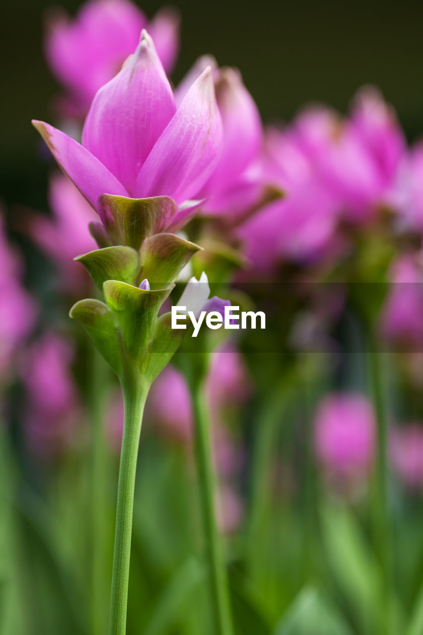 flowering plant, flower, vulnerability, fragility, beauty in nature, plant, freshness, petal, growth, close-up, pink color, inflorescence, flower head, no people, nature, purple, focus on foreground, selective focus, day, outdoors, sepal