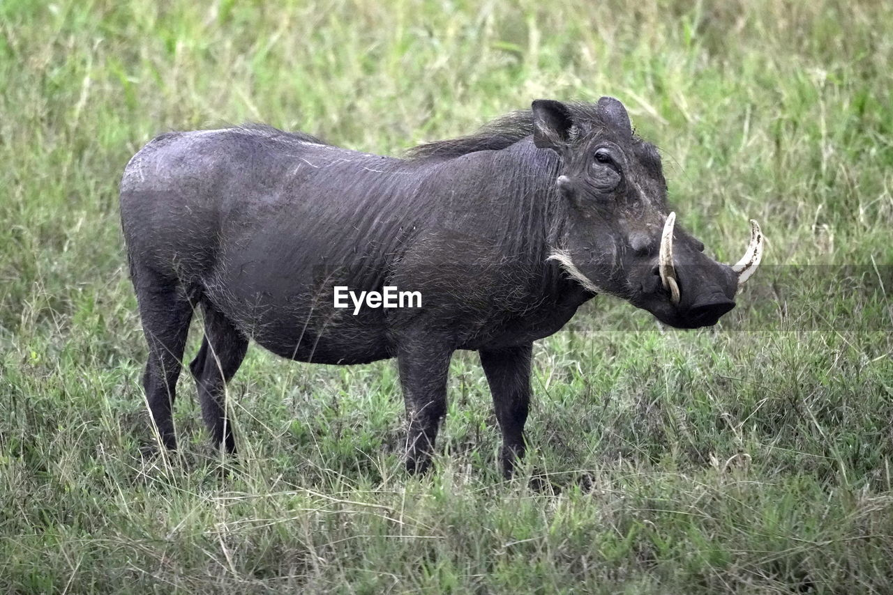 animal themes, animal, grass, animal wildlife, mammal, one animal, animals in the wild, plant, no people, day, nature, vertebrate, land, standing, field, side view, walking, domestic animals, environment, outdoors, herbivorous