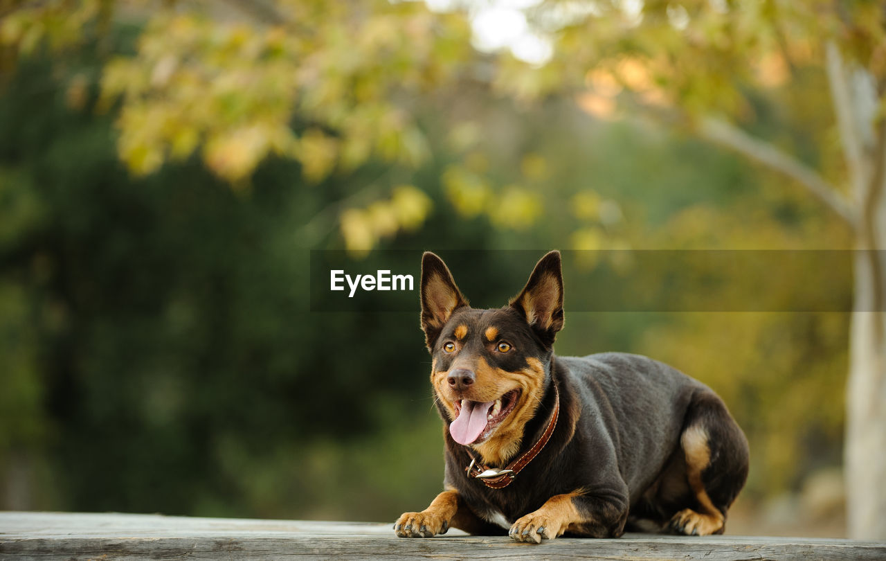 one animal, pets, domestic animals, domestic, dog, canine, mammal, animal, animal themes, vertebrate, focus on foreground, day, no people, looking, looking away, portrait, nature, sunlight, tree, mouth open, purebred dog