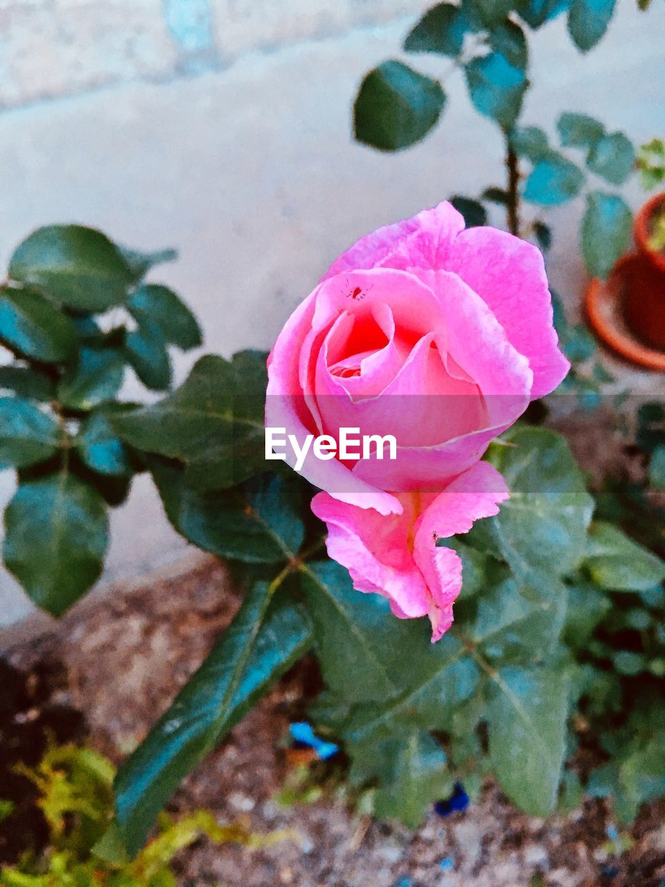 flower, flowering plant, plant, petal, beauty in nature, rose, freshness, vulnerability, fragility, pink color, inflorescence, rose - flower, flower head, close-up, growth, leaf, plant part, nature, no people, outdoors