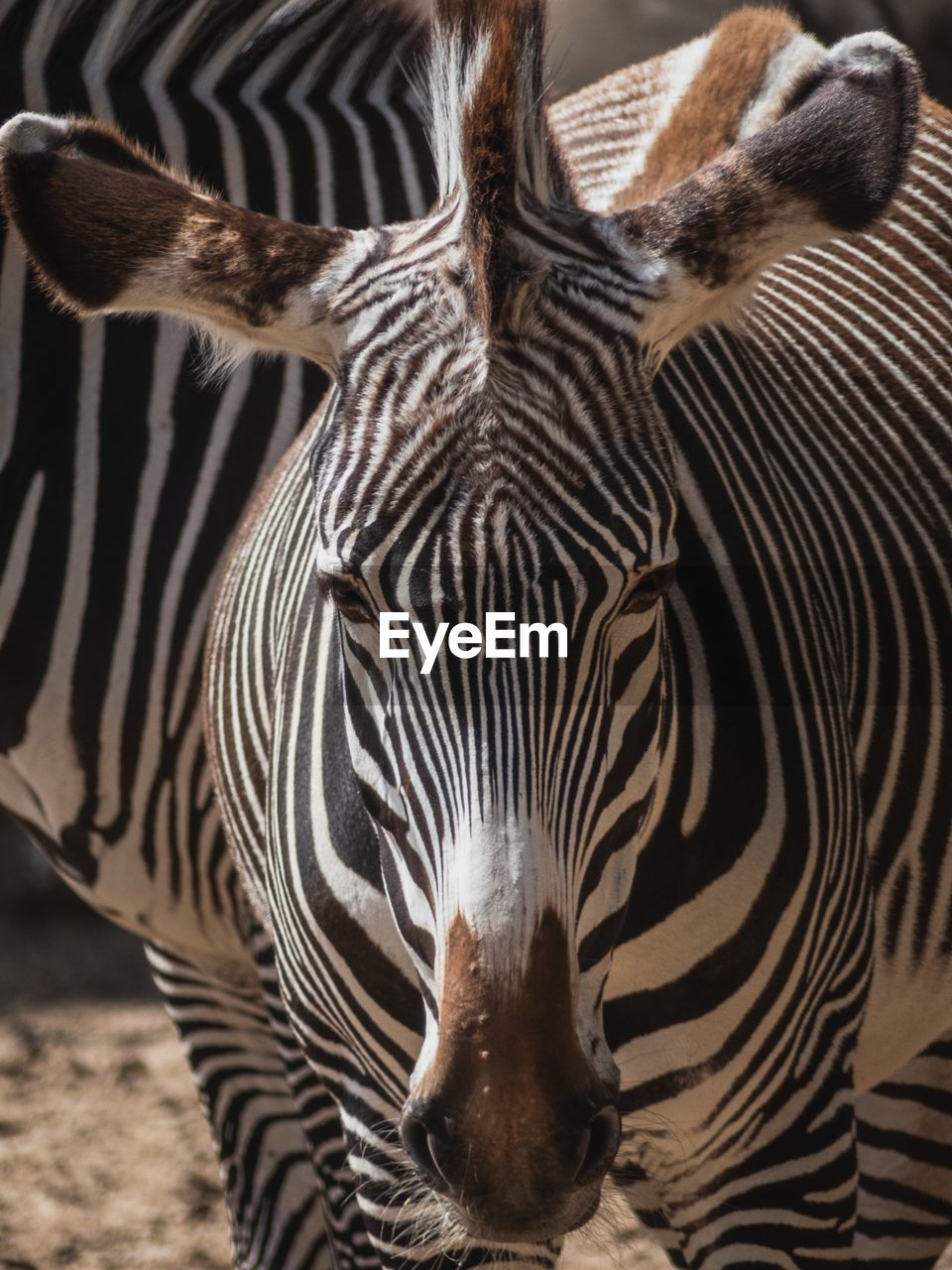 animal themes, animal, animal wildlife, striped, animals in the wild, zebra, mammal, group of animals, vertebrate, close-up, no people, safari, two animals, day, natural pattern, nature, animal body part, outdoors, animal head, herbivorous, herd