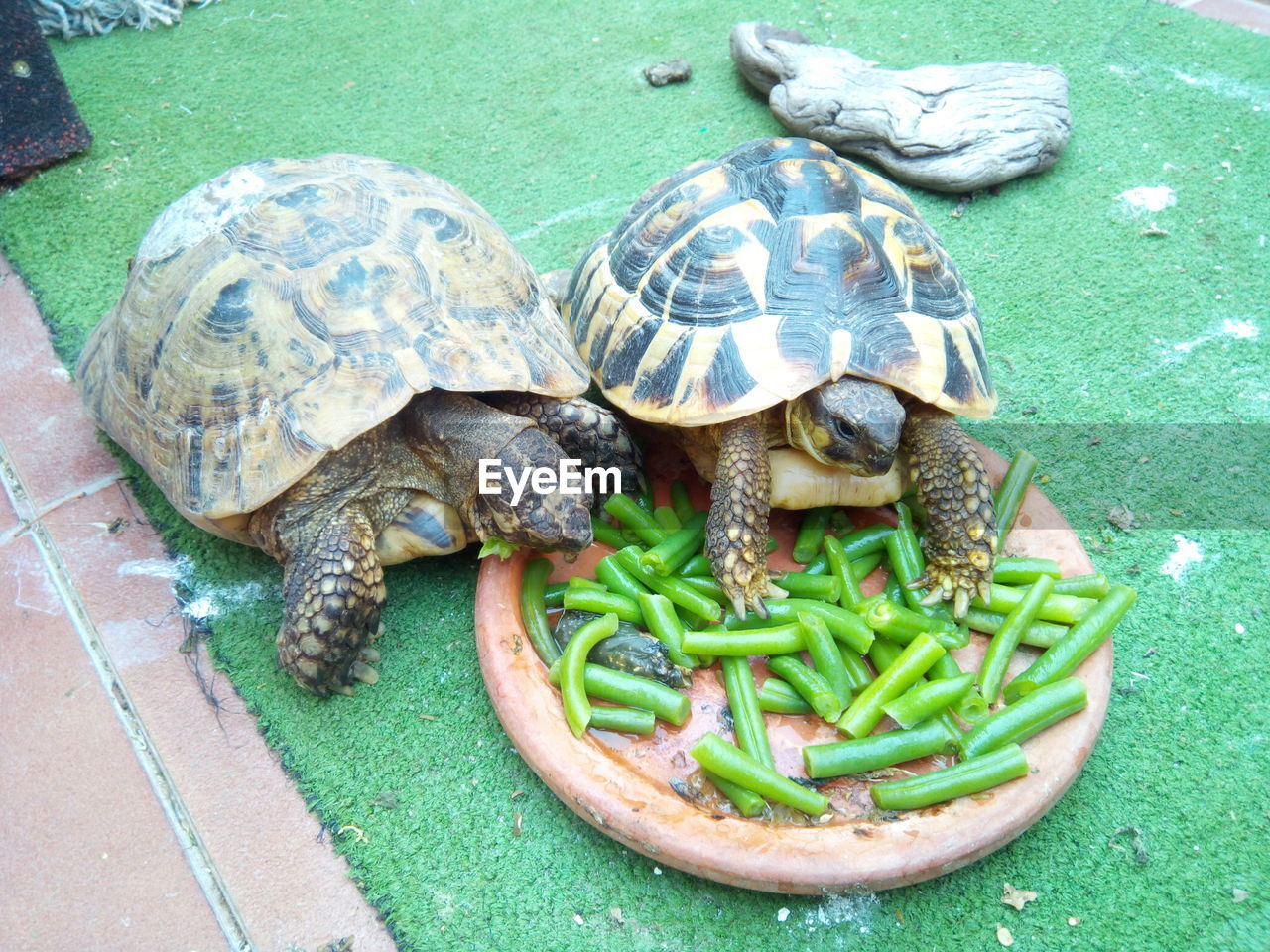 turtle, reptile, tortoise, animal themes, animal wildlife, animal, vertebrate, animal shell, shell, animals in the wild, high angle view, no people, close-up, group of animals, day, tortoise shell, nature, outdoors, green color, marine