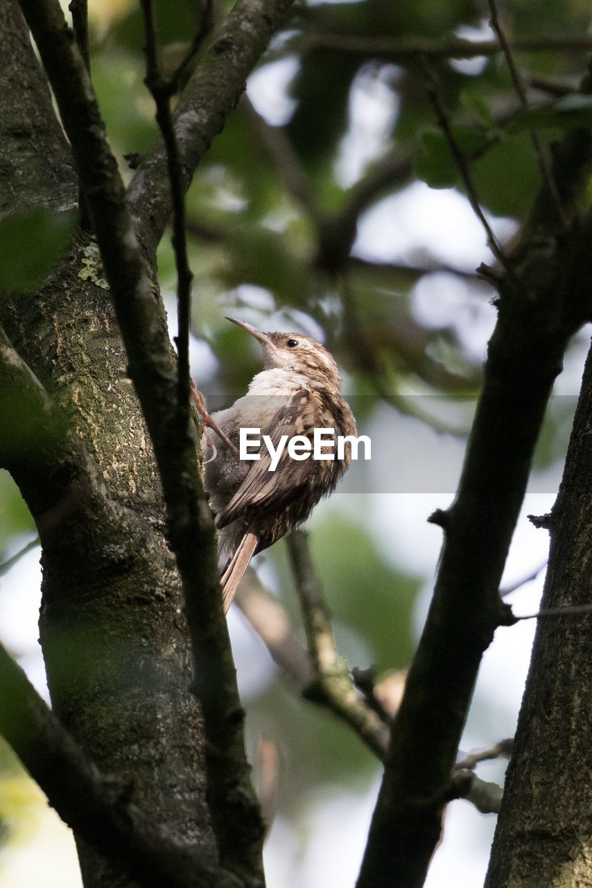 tree, one animal, bird, animals in the wild, animal themes, branch, perching, animal wildlife, nature, no people, low angle view, tree trunk, day, outdoors, beauty in nature, bird of prey, close-up