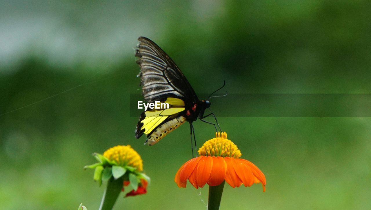 insect, animals in the wild, flowering plant, flower, animal wildlife, animal, beauty in nature, animal themes, invertebrate, plant, one animal, fragility, animal wing, vulnerability, focus on foreground, petal, flower head, growth, butterfly - insect, freshness, no people, pollination, outdoors, pollen, butterfly