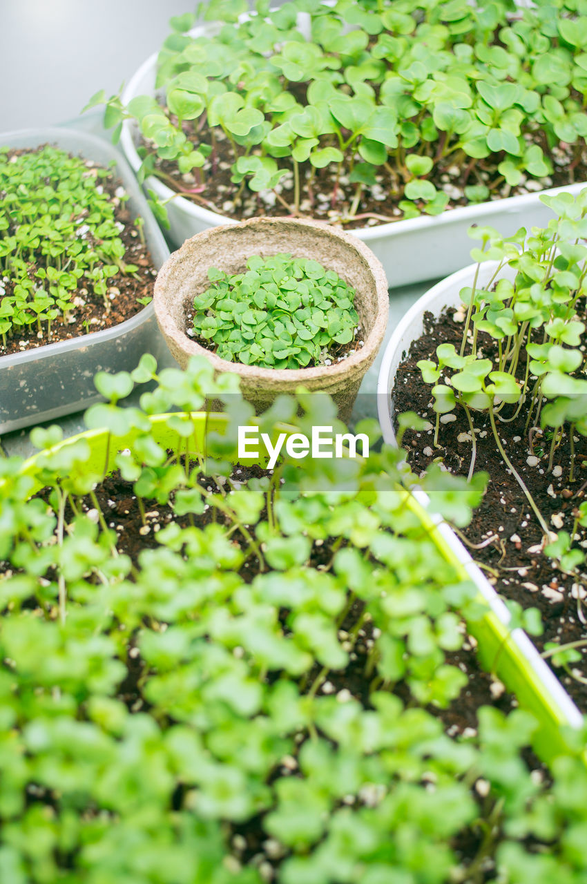 green color, growth, plant, selective focus, nature, seedling, leaf, day, potted plant, no people, plant part, beauty in nature, botany, freshness, food and drink, beginnings, high angle view, food, close-up, outdoors, gardening, herb, planting, plantation, plant nursery