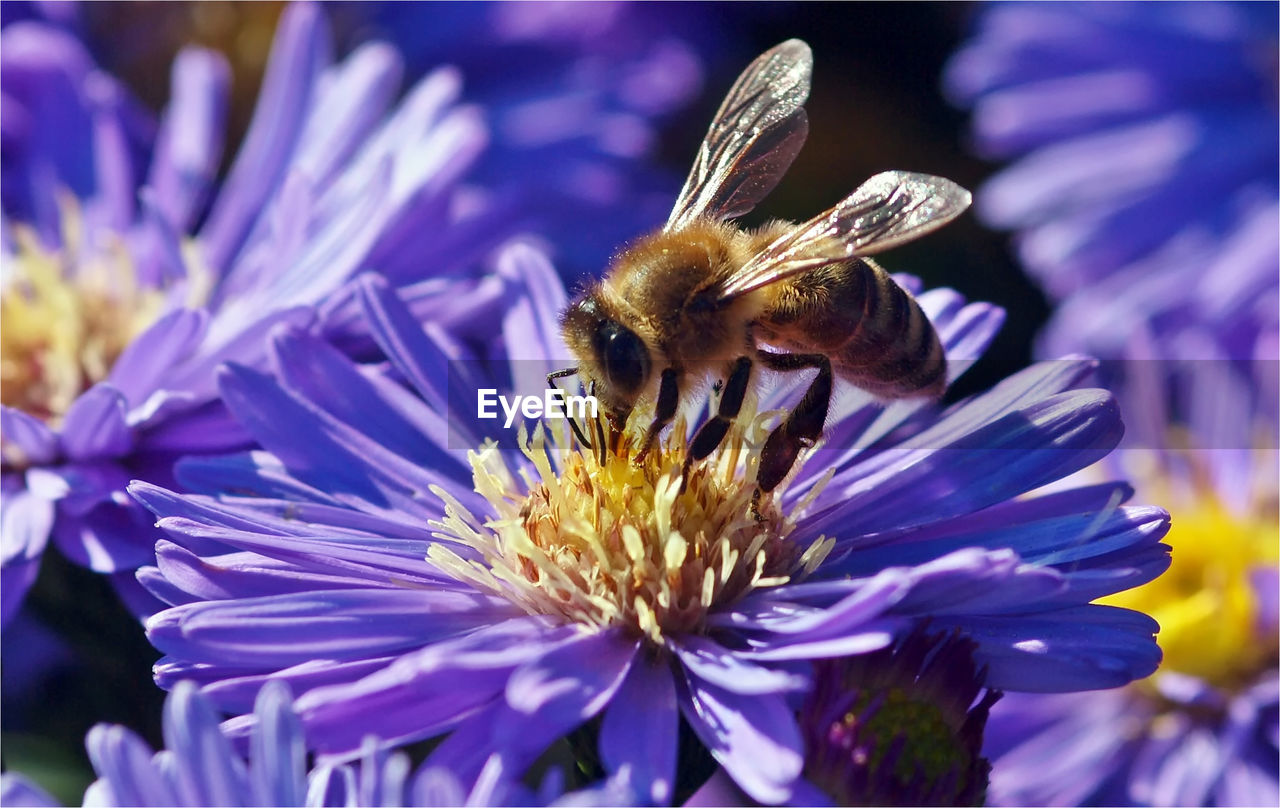 flower, insect, one animal, animal themes, animals in the wild, bee, purple, nature, fragility, pollination, beauty in nature, petal, growth, honey bee, animal wildlife, plant, freshness, flower head, symbiotic relationship, no people, outdoors, bumblebee, close-up, day, buzzing