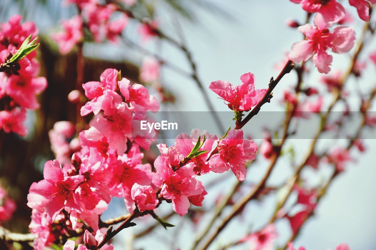 flower, flowering plant, plant, growth, freshness, fragility, beauty in nature, vulnerability, pink color, close-up, petal, blossom, flower head, nature, day, focus on foreground, branch, inflorescence, no people, springtime, outdoors, pollen, plum blossom, cherry blossom, spring, cherry tree