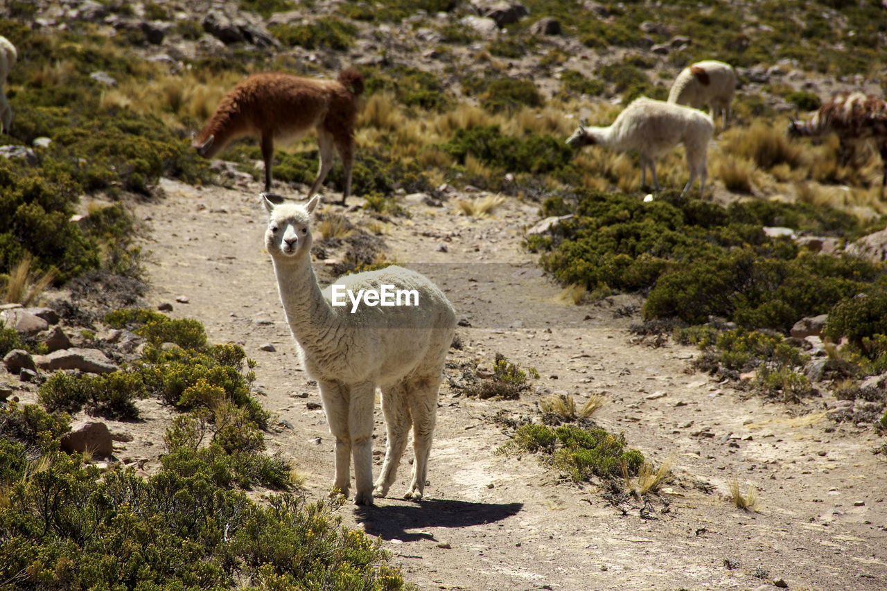 animal, mammal, group of animals, animal themes, livestock, land, nature, animal wildlife, domestic animals, vertebrate, animals in the wild, llama, plant, field, no people, day, sunlight, standing, young animal, agriculture, outdoors, herbivorous, animal family