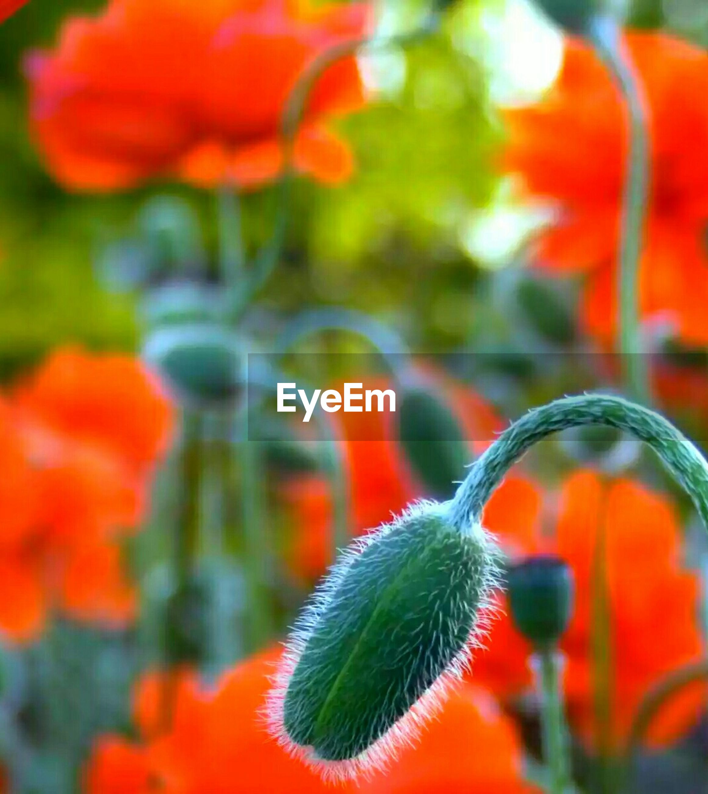 red, orange color, focus on foreground, growth, flower, close-up, fragility, plant, beauty in nature, nature, petal, freshness, selective focus, flower head, vibrant color, blooming, multi colored, park - man made space, day, no people