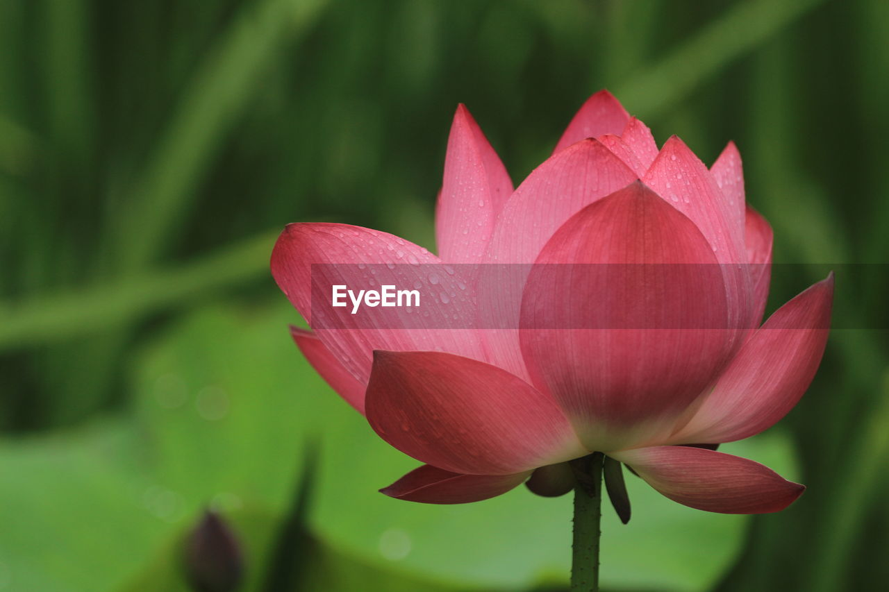 flower, flowering plant, plant, beauty in nature, freshness, vulnerability, fragility, petal, close-up, growth, flower head, inflorescence, water lily, water, nature, pink color, lily, focus on foreground, lotus water lily, no people, outdoors