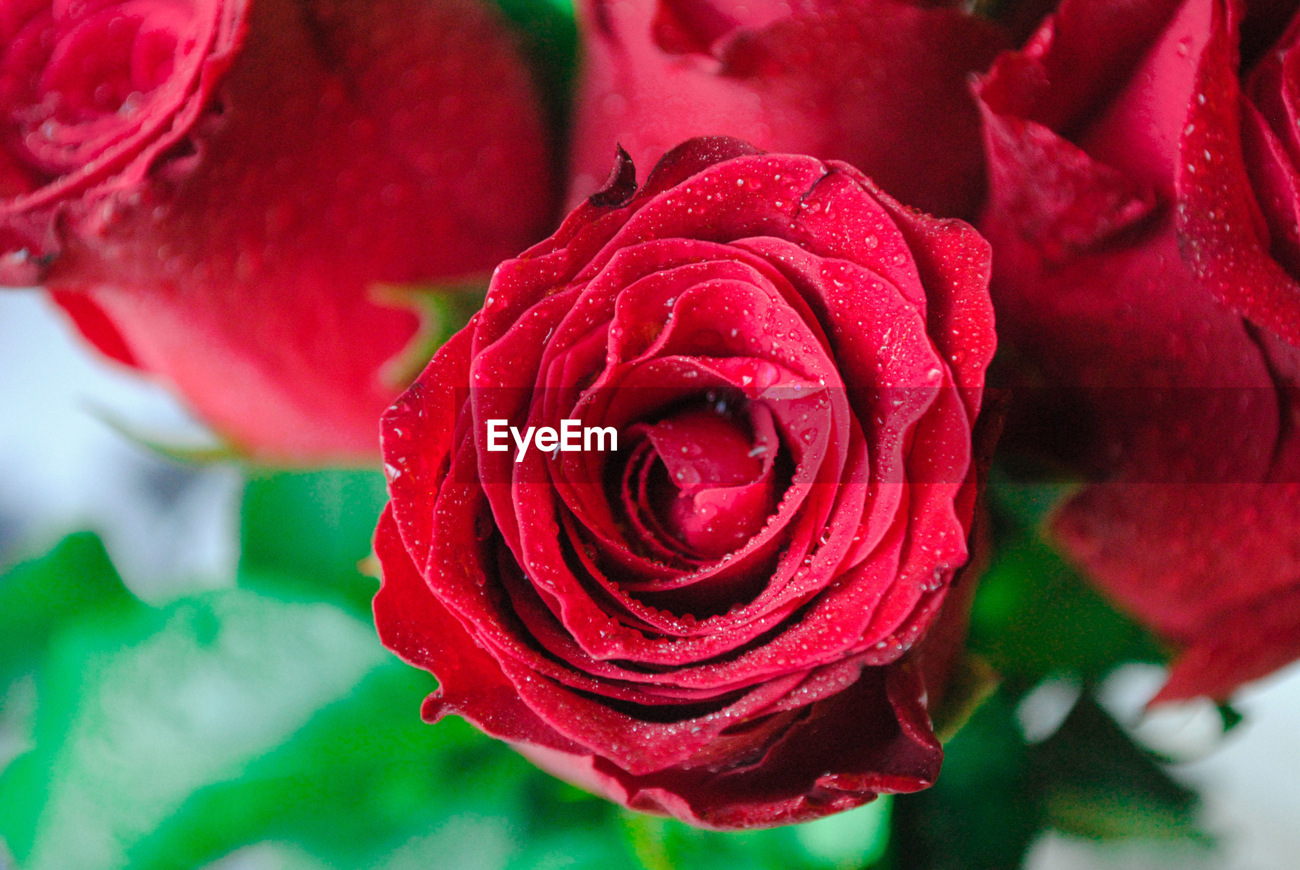 CLOSE-UP OF WET RED ROSE IN BLOOM