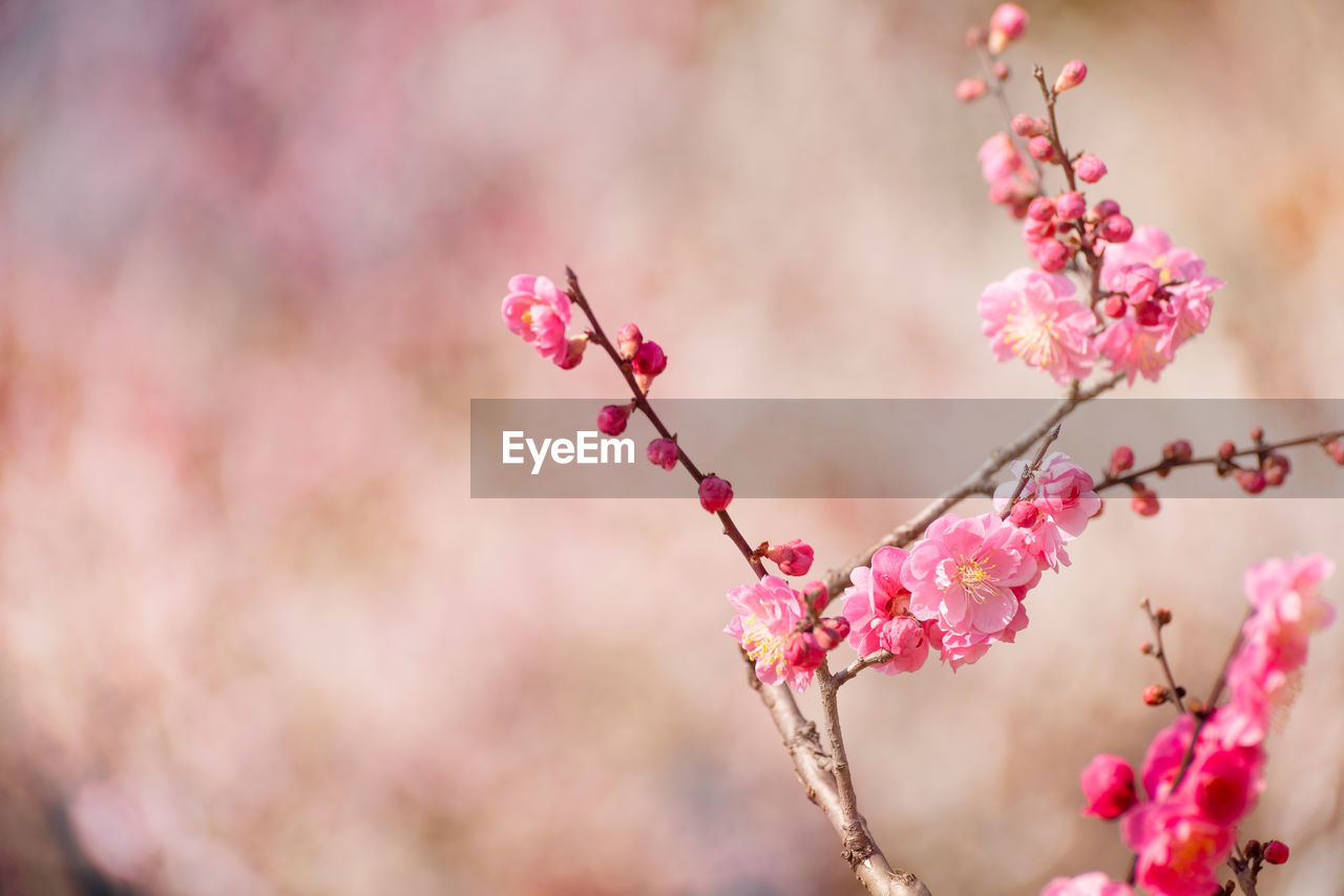 flower, flowering plant, pink color, plant, fragility, freshness, beauty in nature, growth, vulnerability, close-up, blossom, tree, branch, springtime, nature, no people, day, petal, cherry blossom, selective focus, outdoors, cherry tree, flower head, plum blossom, spring