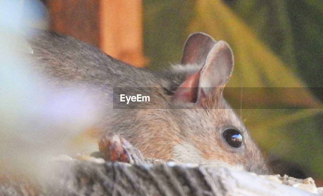 animal, mammal, animal themes, one animal, animal wildlife, animals in the wild, close-up, vertebrate, no people, animal body part, domestic animals, pets, day, animal head, selective focus, rodent, domestic, relaxation, focus on foreground, outdoors, herbivorous, whisker