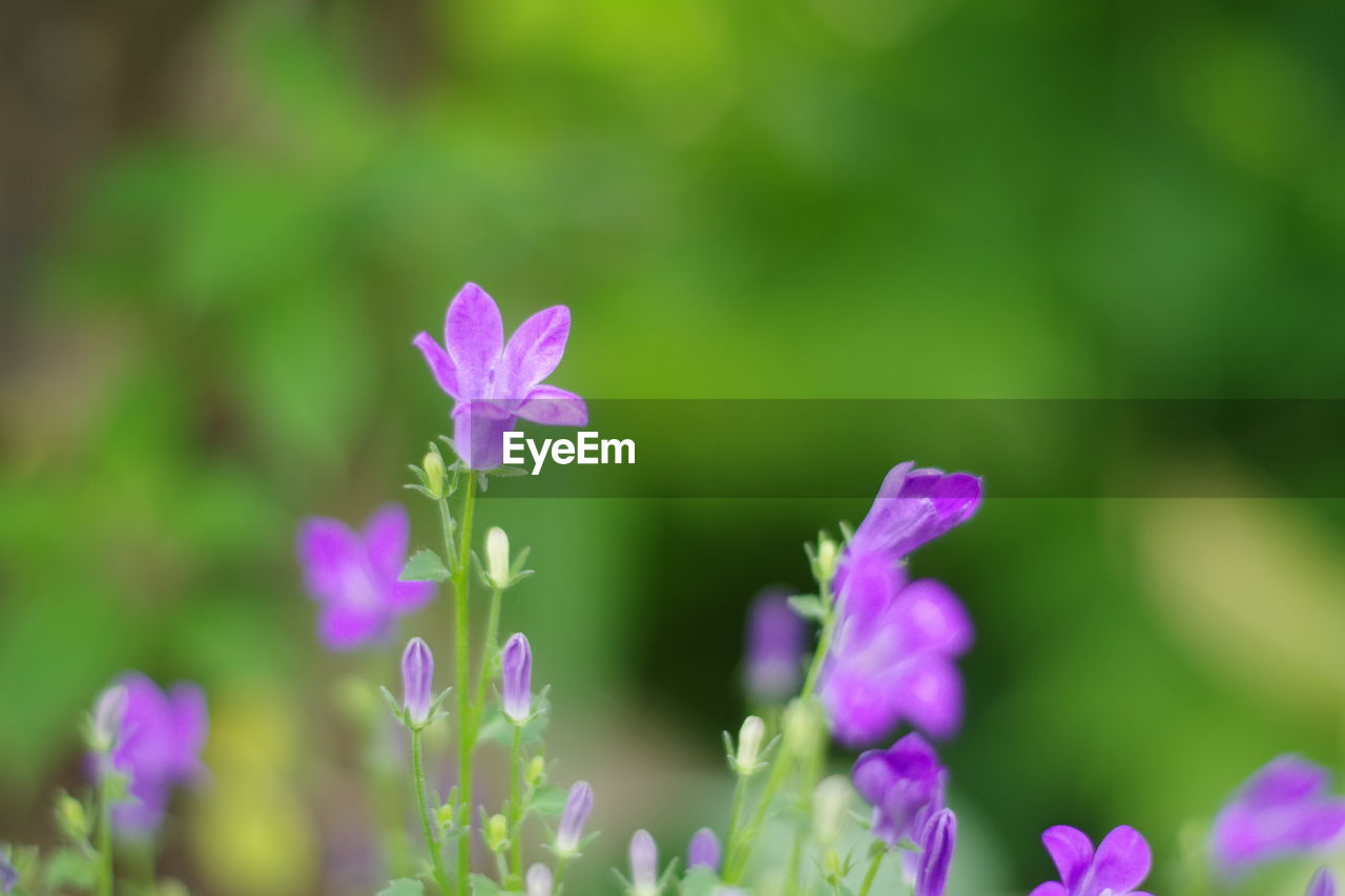 CLOSE-UP OF PURPLE FLOWERING PLANTS AGAINST BLURRED BACKGROUND