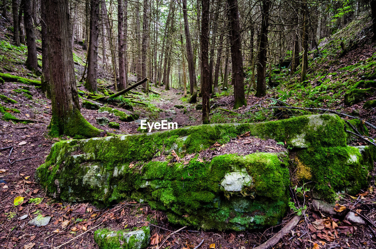 forest, plant, tree, land, tree trunk, trunk, tranquility, moss, growth, nature, beauty in nature, no people, tranquil scene, woodland, day, scenics - nature, green color, non-urban scene, environment, outdoors, flowing water